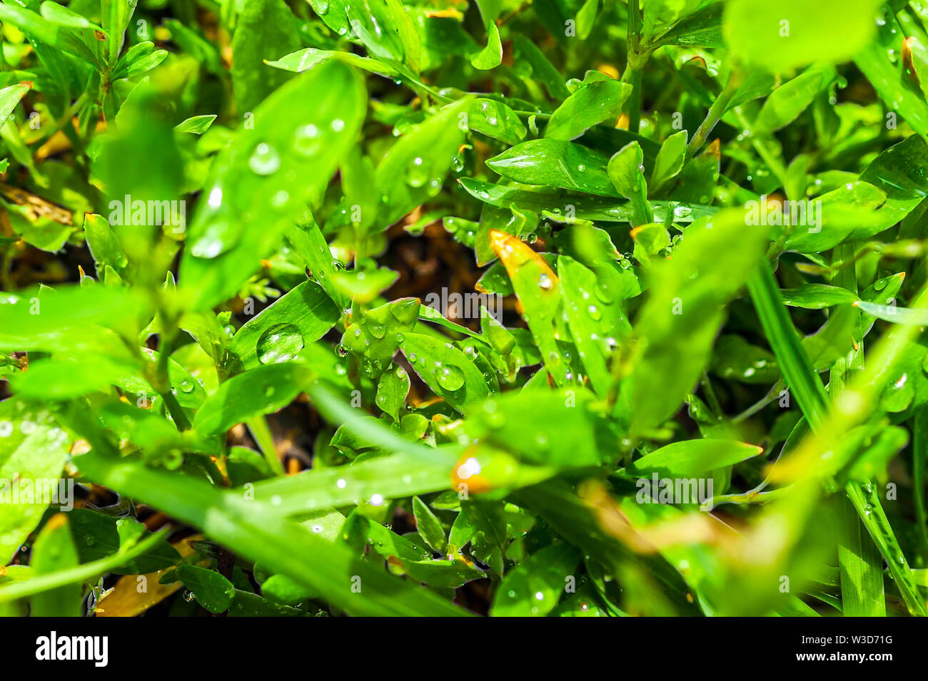 Macro Image of Morning Dew or Raindrops on Green Grass. - Stock Image
