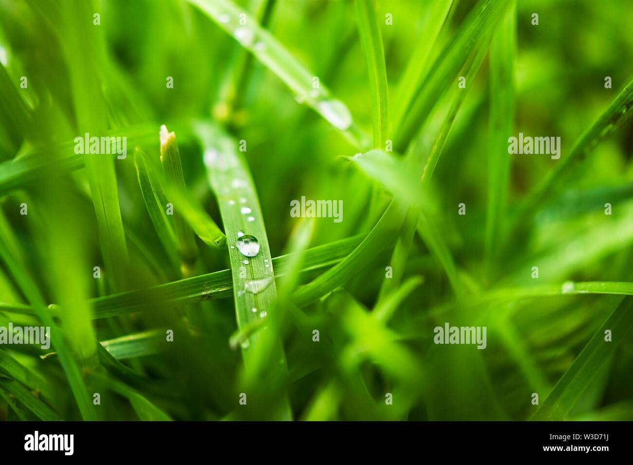 Macro Image of Morning Dew or Raindrops on Blades of Green Grass. - Stock Image