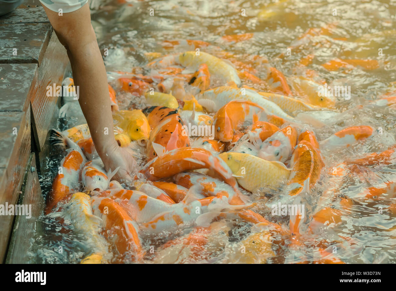 Woman feeding food to fancy carp fish by hand in the japanese pond. - Stock Image