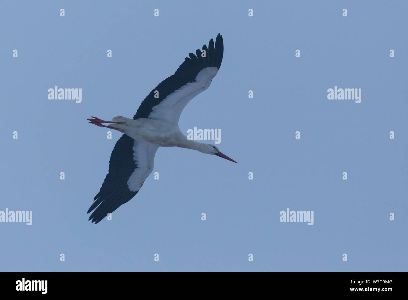 close-up flying white stork (ciconia ciconia) in evening dawn - Stock Image