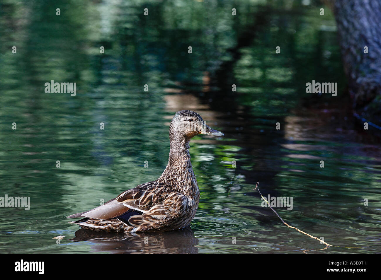 A duck in a pond, with waves on the surface of the water. - Stock Image