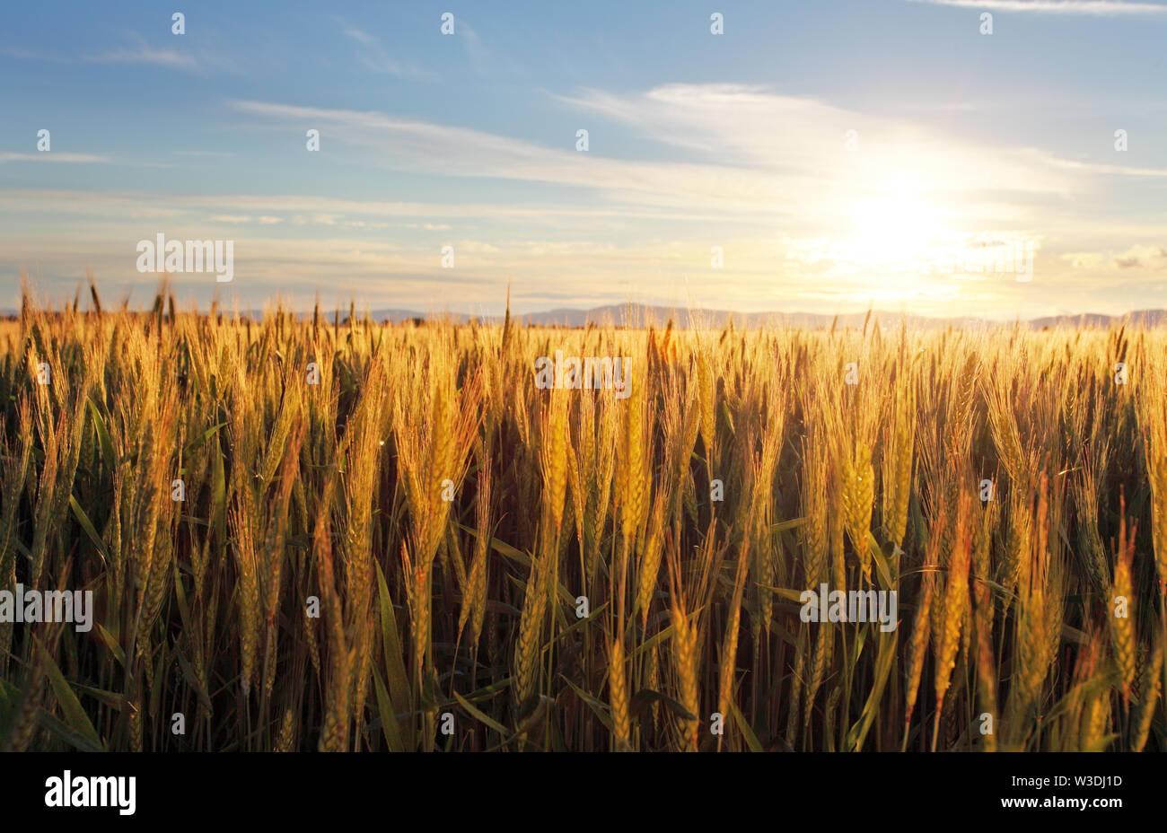 Sunset over wheat field Stock Photo