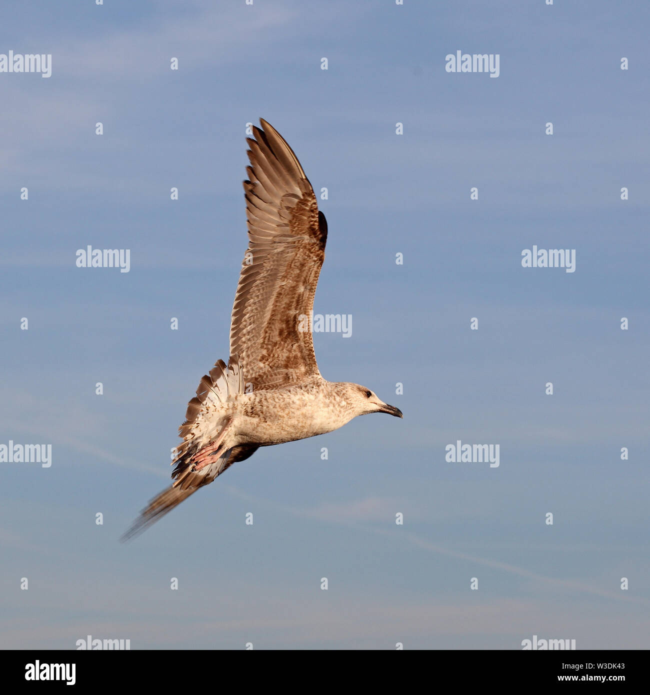 Seagull in Rome Stock Photo
