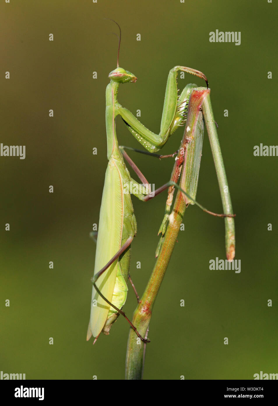 Praying Mantis insect in nature Stock Photo
