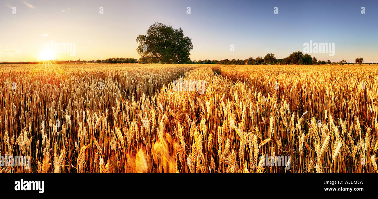 Wheat flied panorama with tree at sunset, rural countryside - Agriculture - Stock Image