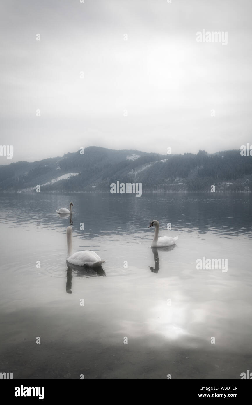 A tranquil and mystical landscape with graceful swans in the water and mountains with snow in the background on a peaceful morning in Austria. - Stock Image