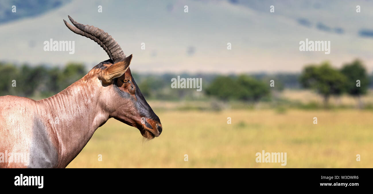 Adult topi, side view portrait with space for text. Horizonal banner format. - Stock Image