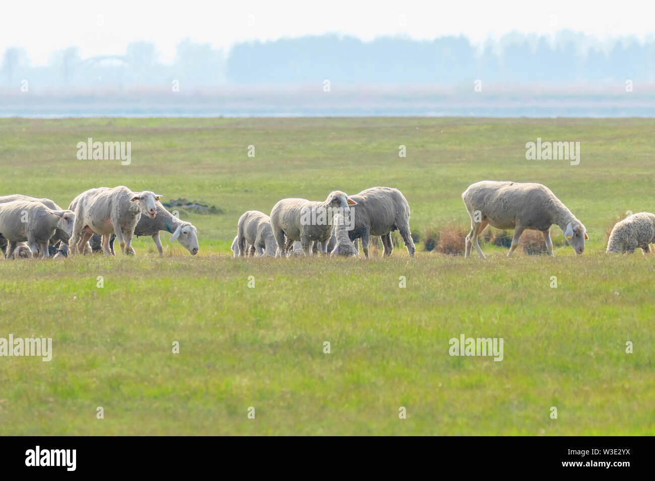 Flock of sheep, sheep on field - Stock Image