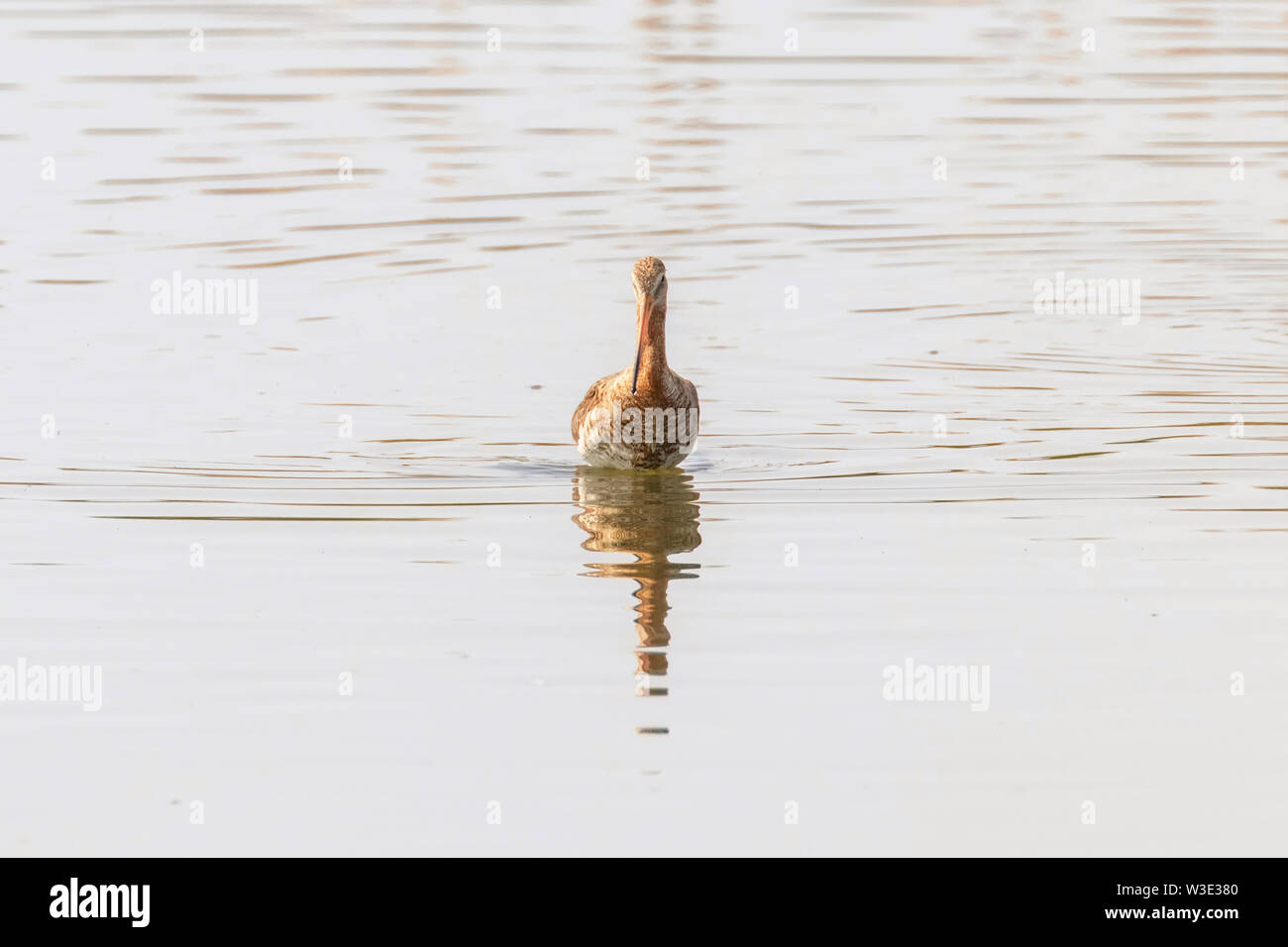 Black Tailed Godwit (Limosa limosa) Wader Bird Foraging in shallow water - Stock Image