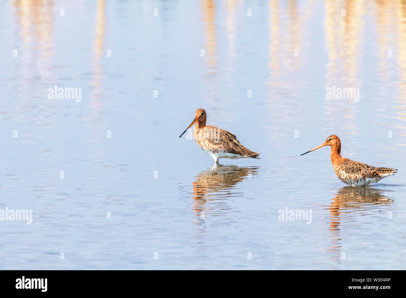 Black Tailed Godwit (Limosa limosa) Wader Birds Foraging in shallow water - Stock Image