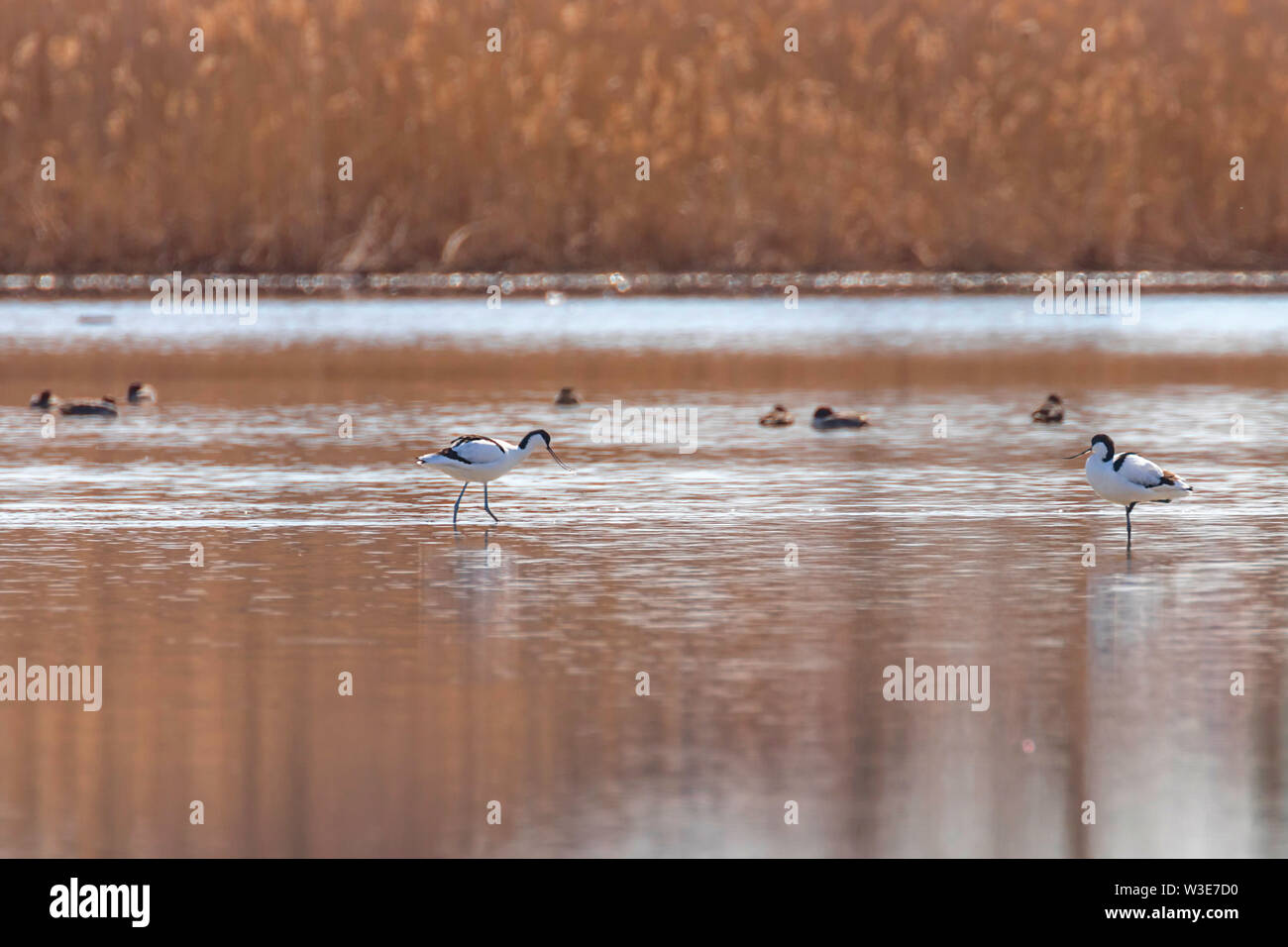 Pied Avocet in water looking for food (Recurvirostra avosetta) Black and white wader bird - Stock Image