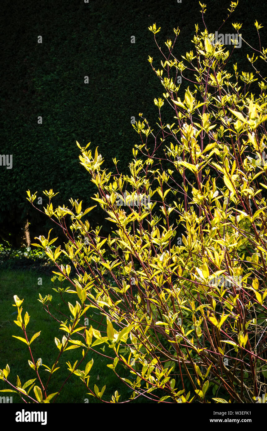 Cornus alba Aurea growing outdoors showing the benefit of a dark hedge background to show leaf colour to good effect - Stock Image