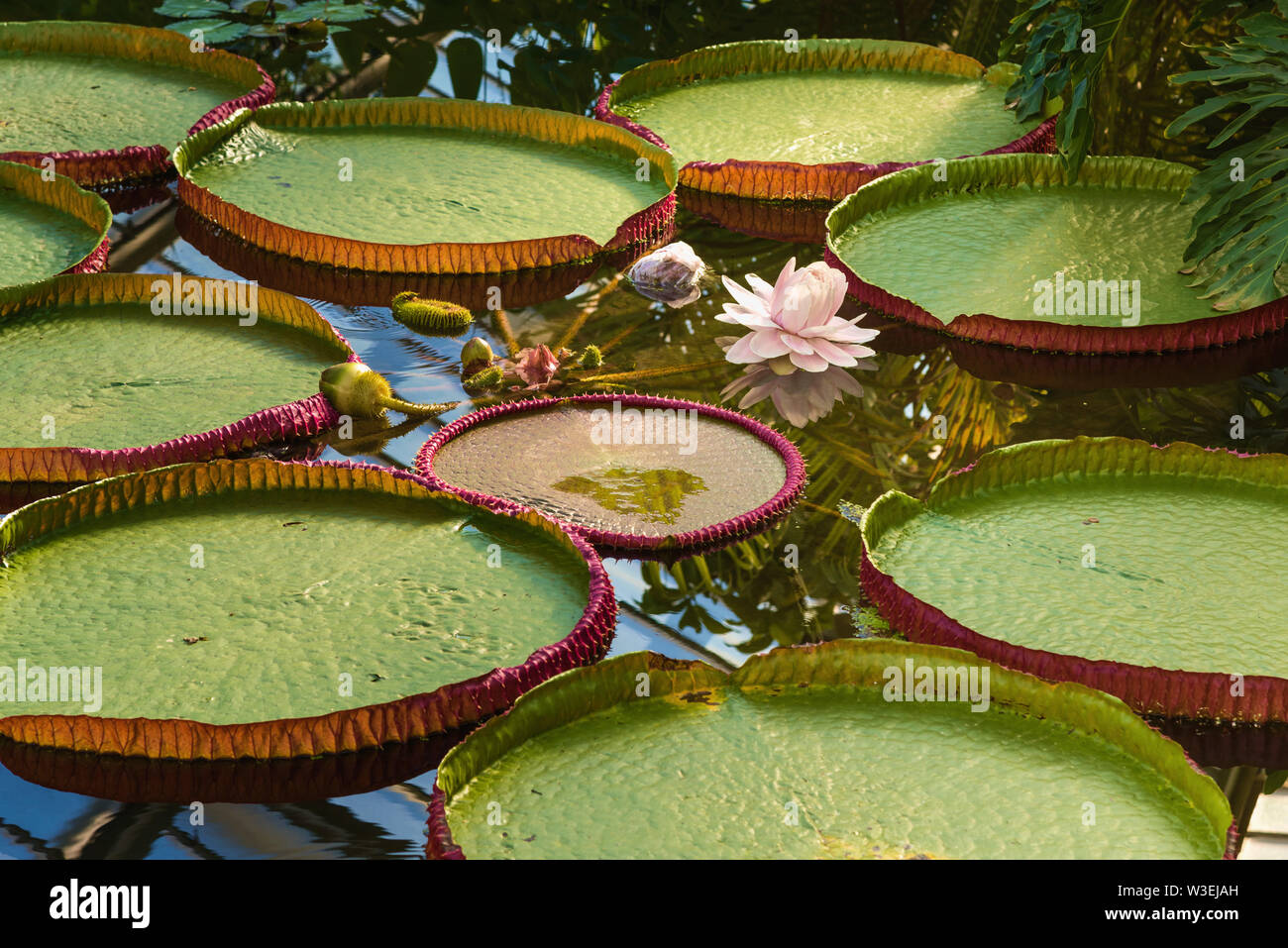 Santa cruz water lily, Kew Gardens, London, UK - Stock Image
