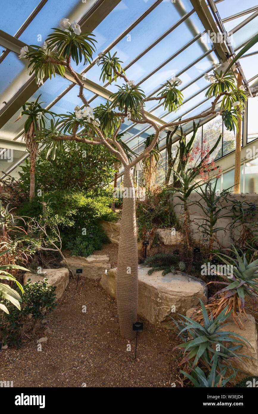 Pachypodium lamerei, Princess of Wales Conservatory, Kew Gardens, London, UK - Stock Image