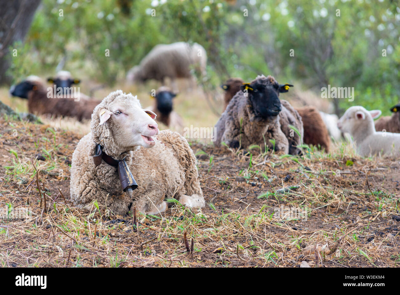 sheep resting in the field - Stock Image