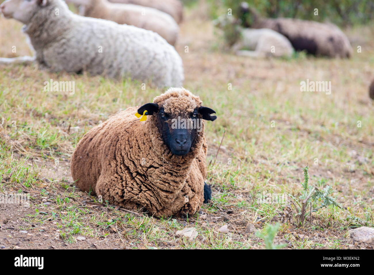 a black sheep resting in the field and looking at camera - Stock Image