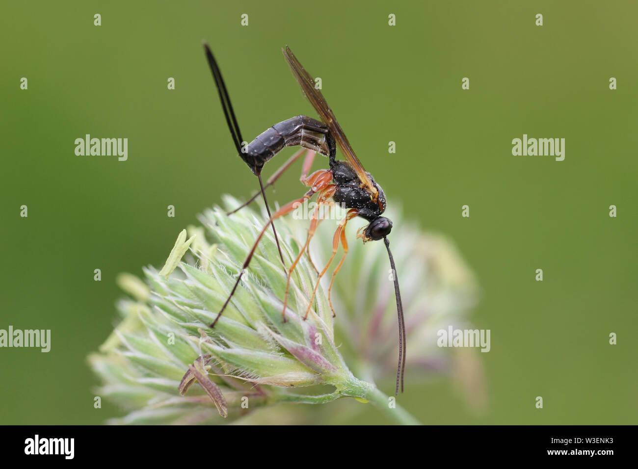 Red-legged Ichneumon Wasp a.k.a. False Slip Wasp Buathra laborator female - Stock Image