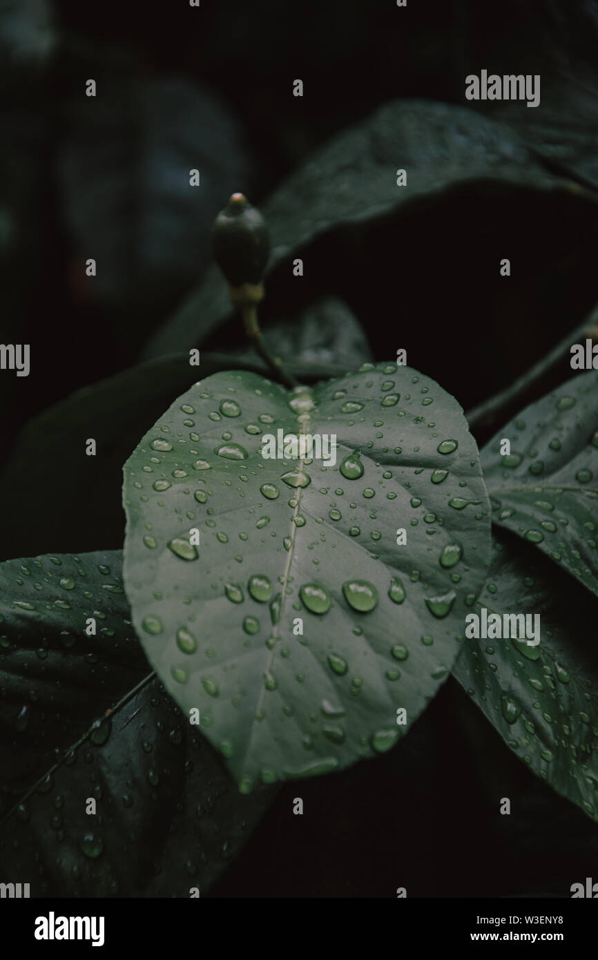 Large beautiful drops of transparent rain water on a green leaf macro. Drops of dew in the morning glow in the sun. Beautiful leaf texture in nature. - Stock Image