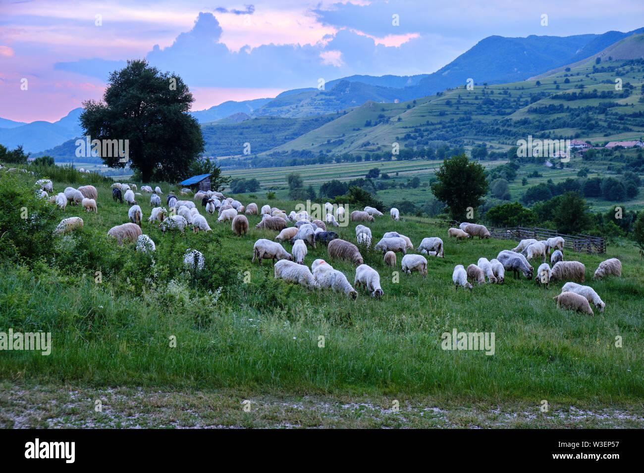 Sheep flock at sunset, on a grass filed above Rimetea village, in Transylvania, Romania. - Stock Image