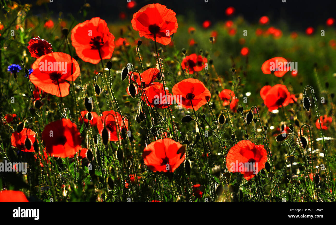 Red Poppies - Stock Image