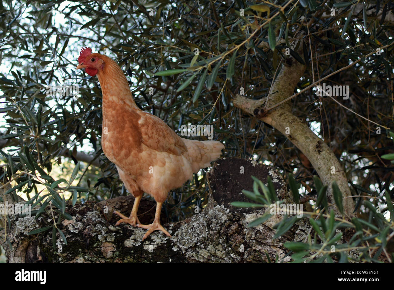 Free range chicken on olive tree branches. - Stock Image