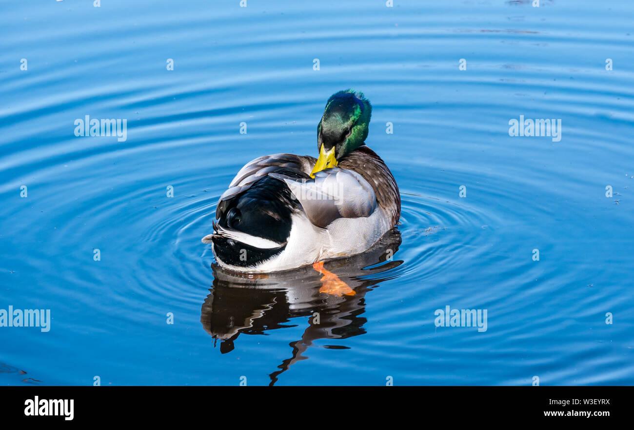 Colourful male Mallard duck, Anas platyrhynchos, preening feathers in water ripple in sunshine Stock Photo