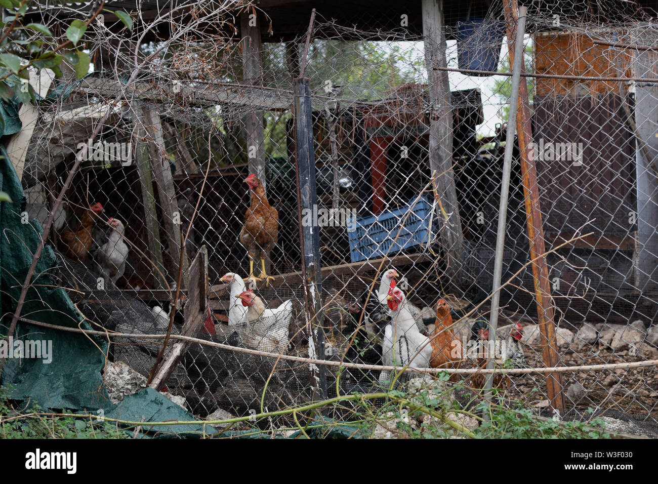 Free range poultry nesting in rusty shack. Makeshift chicken coop. - Stock Image