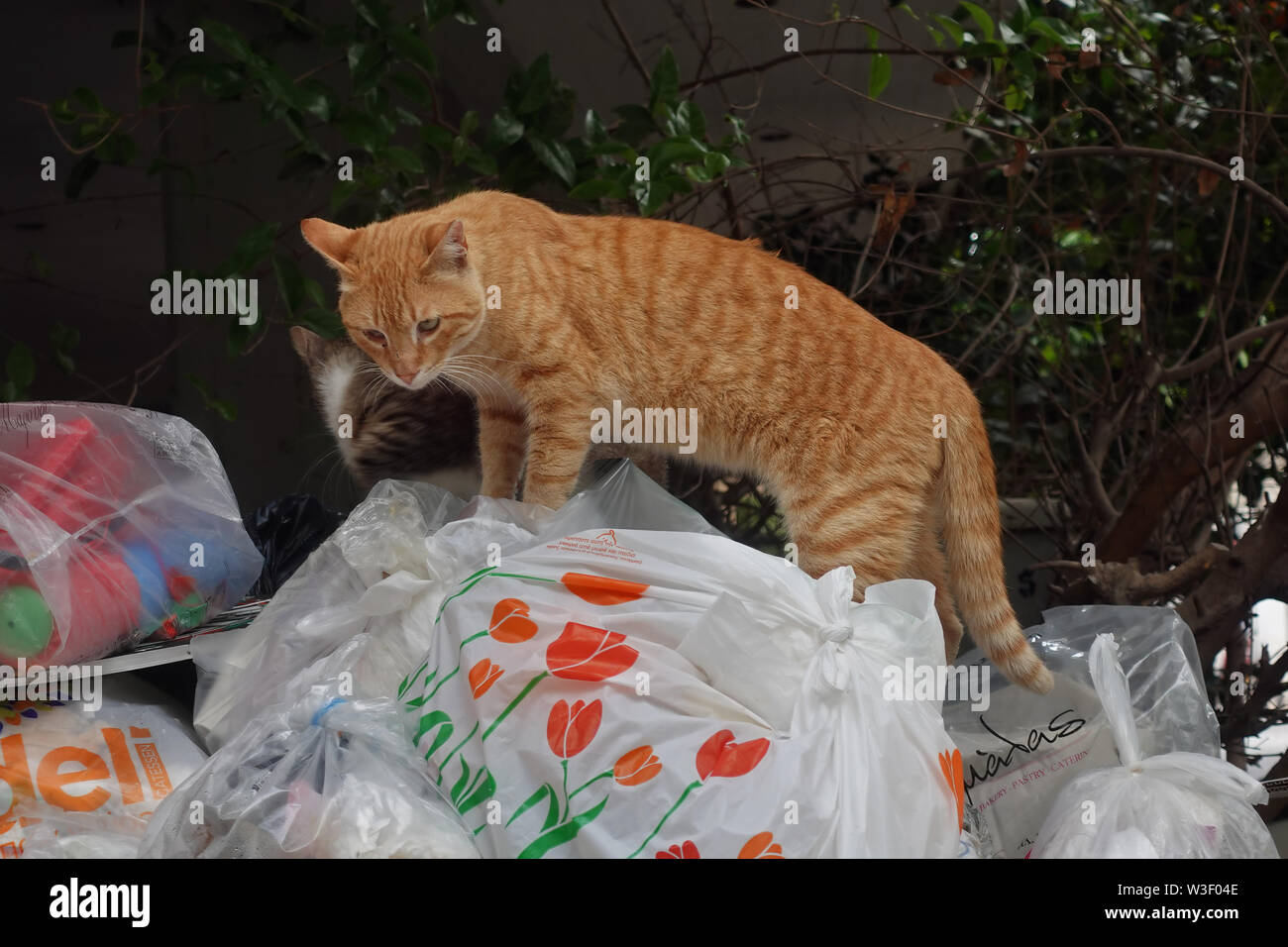 ATHENS, GREECE - MAY 5, 2019: Stray cats looking for food in garbage can full of trash in plastic bags. - Stock Image