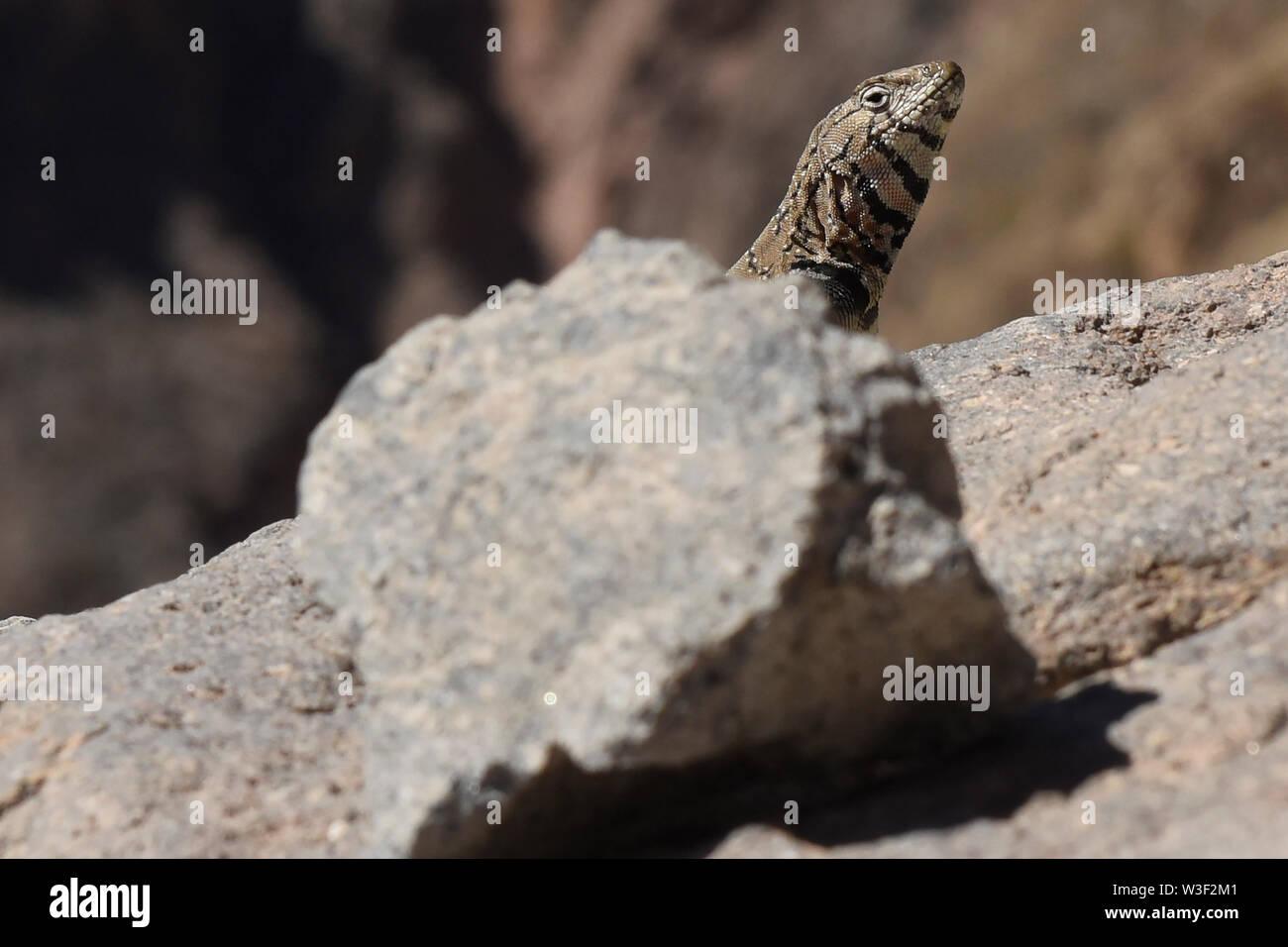 Lizard peeking out, Colca Canyon, Chivay, Peru - Stock Image