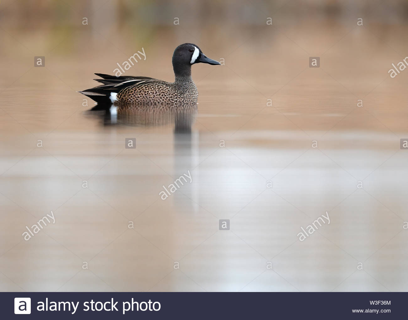 Blue-winged Teal drake on calm reflective pond with clean tan background. - Stock Image