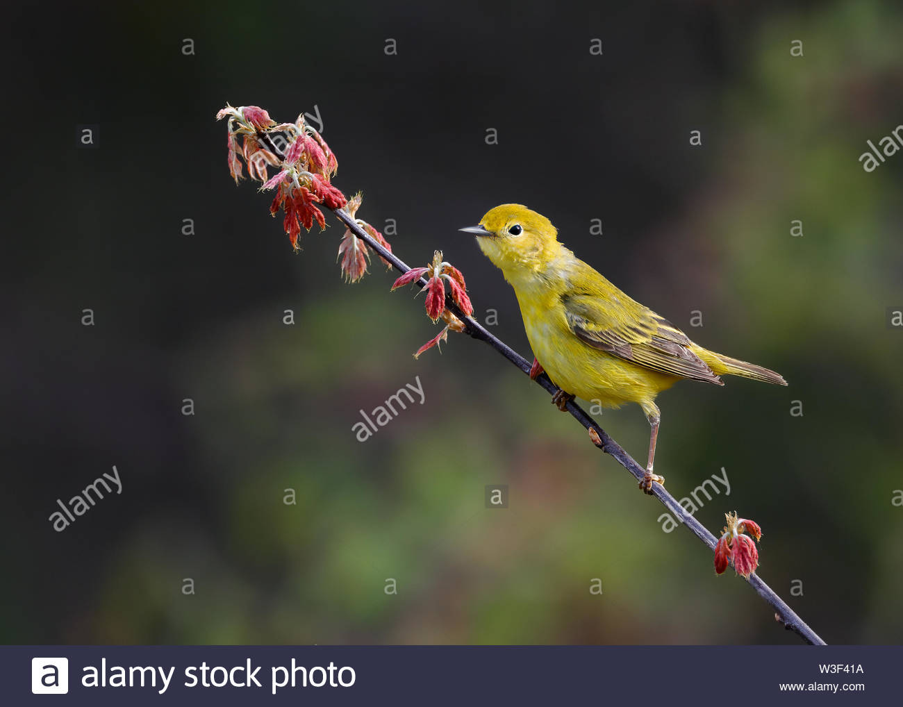 Yellow Warbler in sunlight perched and leaning forward on budding oak tree with new red leaves against shaded forest background. - Stock Image