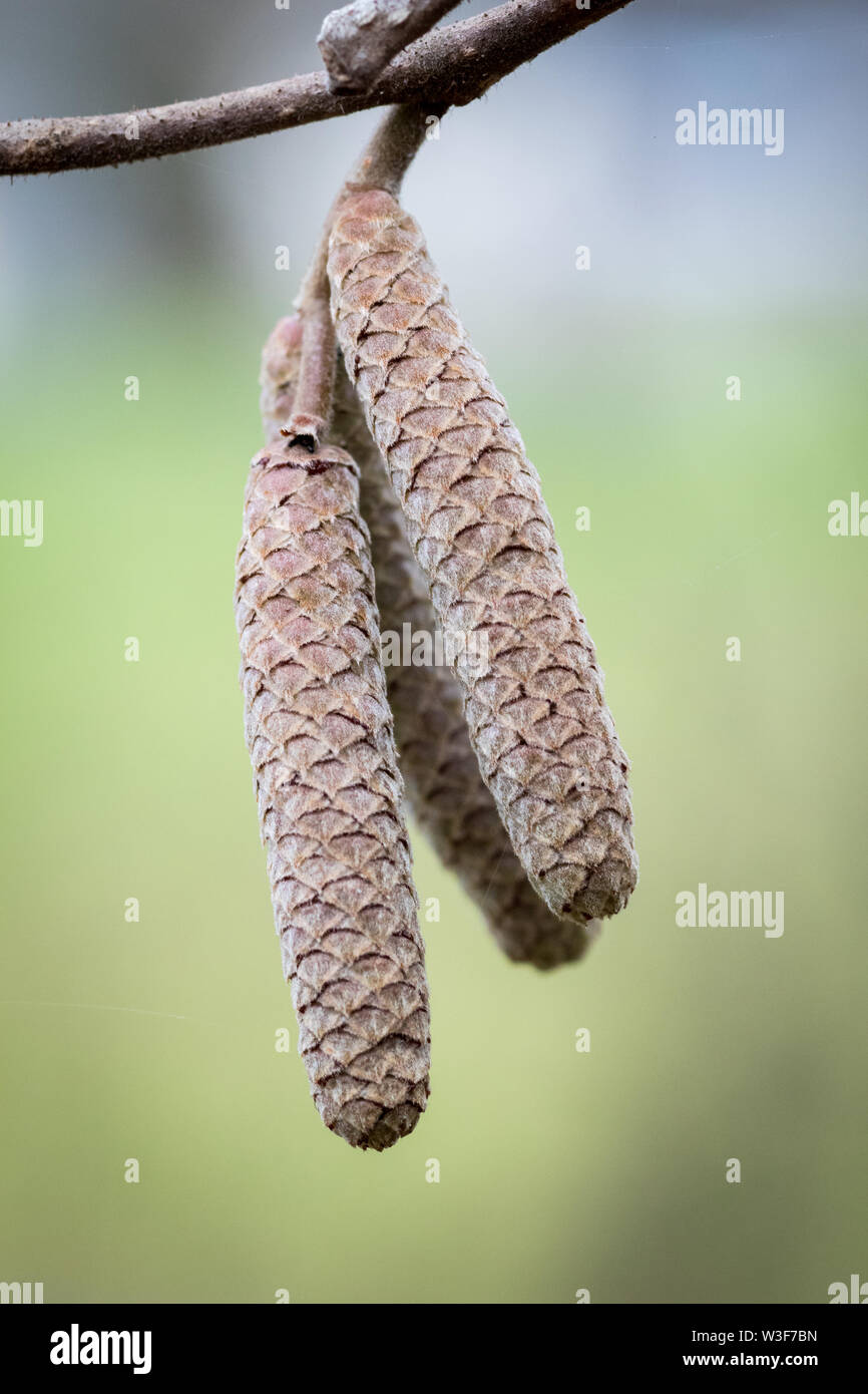 An Alder tree, common name of a genus of flowering plants (Alnus), belonging to the birch family Betulaceae, with its catkins during early winter. - Stock Image
