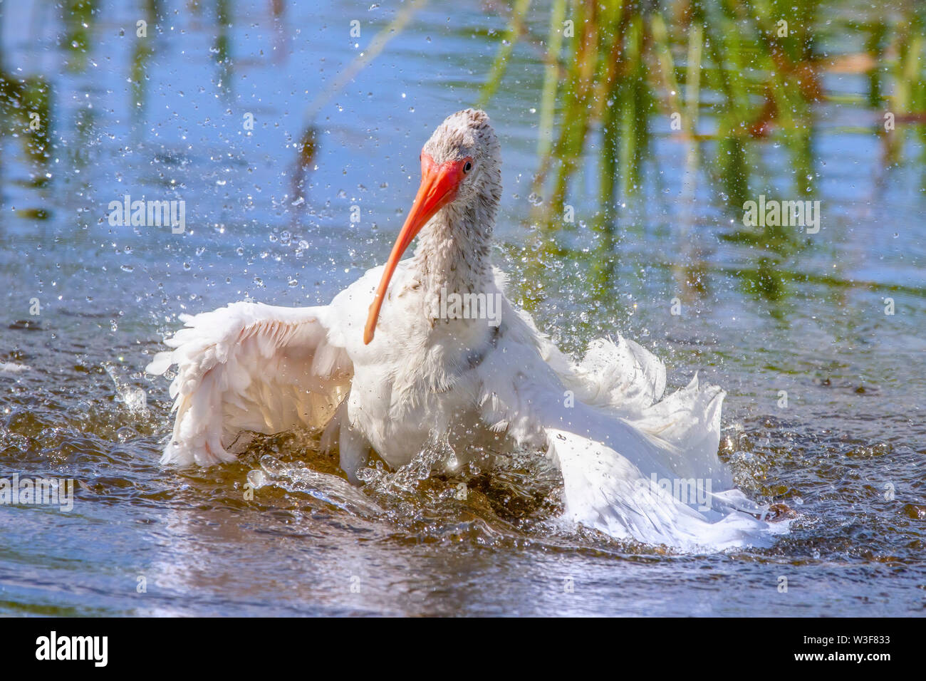 A White Ibis in the Florida Everglades seems to be enjoying itself as it takes a bath in a shallow creek. - Stock Image