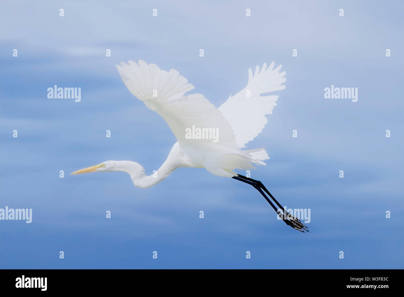 A Great White Egret soars above the Florida Everglades. Great White Egrets are beautiful and majestic birds with a wingspan that can exceed 5 feet. - Stock Image