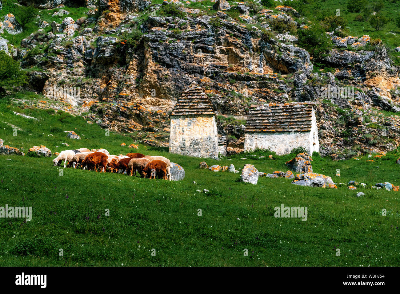 A flock of sheep eating grass in the green hills of the High Caucasus. Sheep flock on the background of the graves of the Alans crypts and a sheer, mo - Stock Image