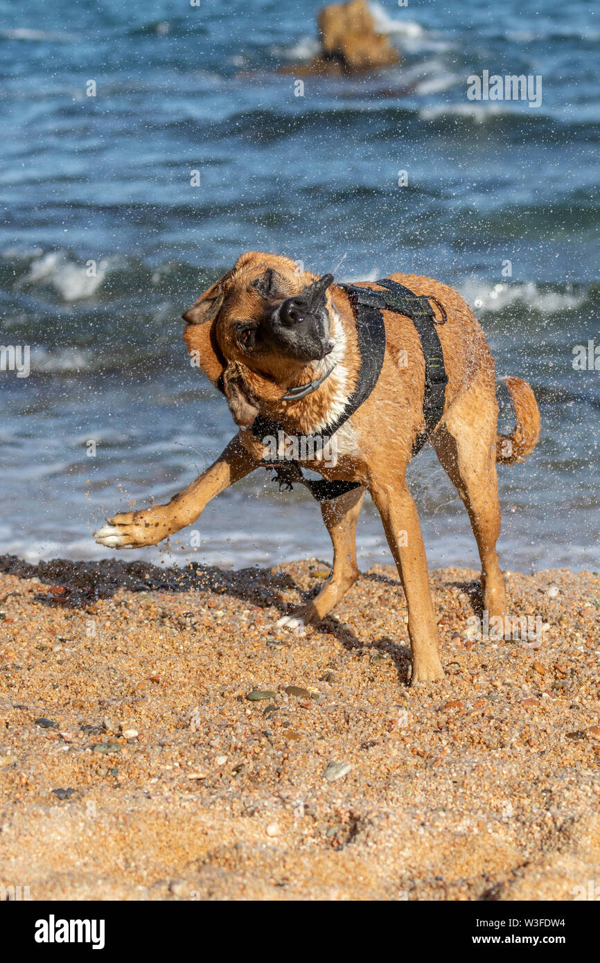 Brown dog after swimming dries itself - Stock Image
