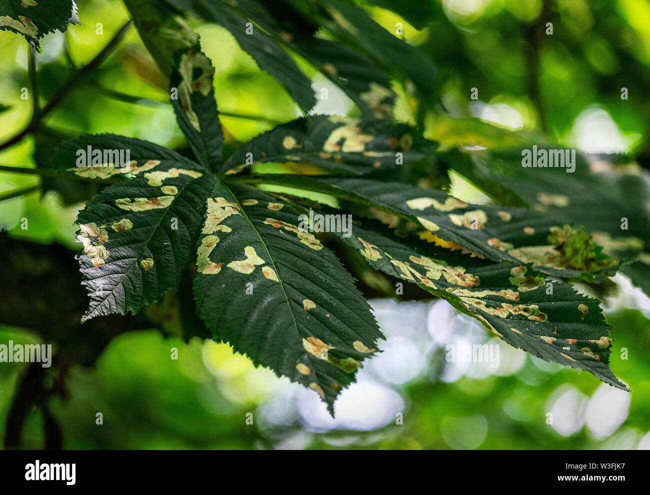 Horse chestnut tree leaves, otherwise known as the conker tree. The leaves are diseased with a fungus which causes blotches to appear. - Stock Image