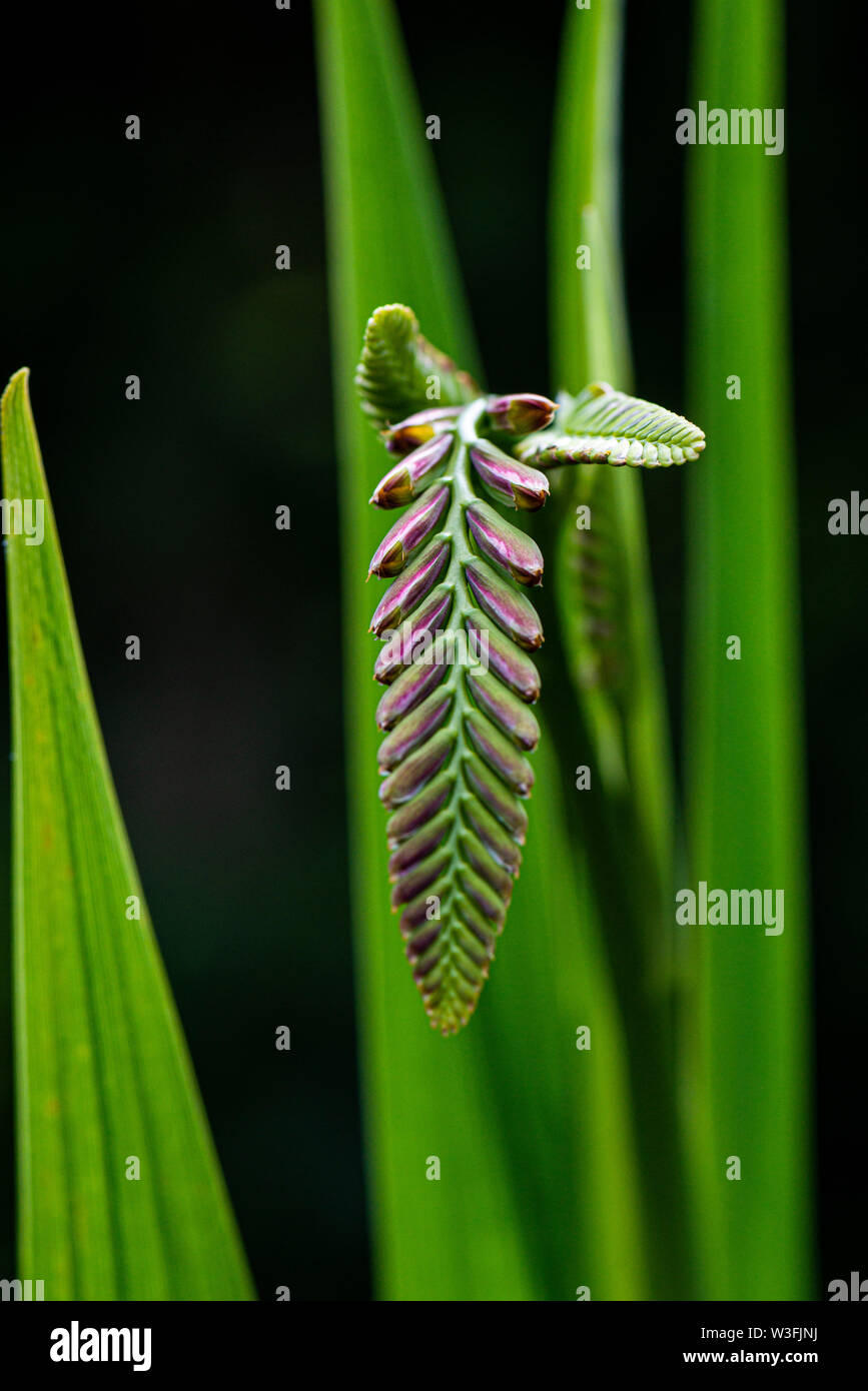 The flower buds of a montbretia 'Lucifer' (Crocosmia 'Lucifer') Stock Photo