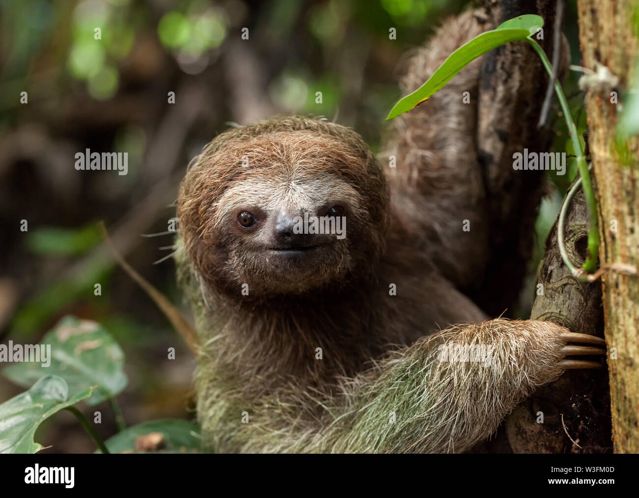 Brown-Throated Three Toed Sloth Stock Photo