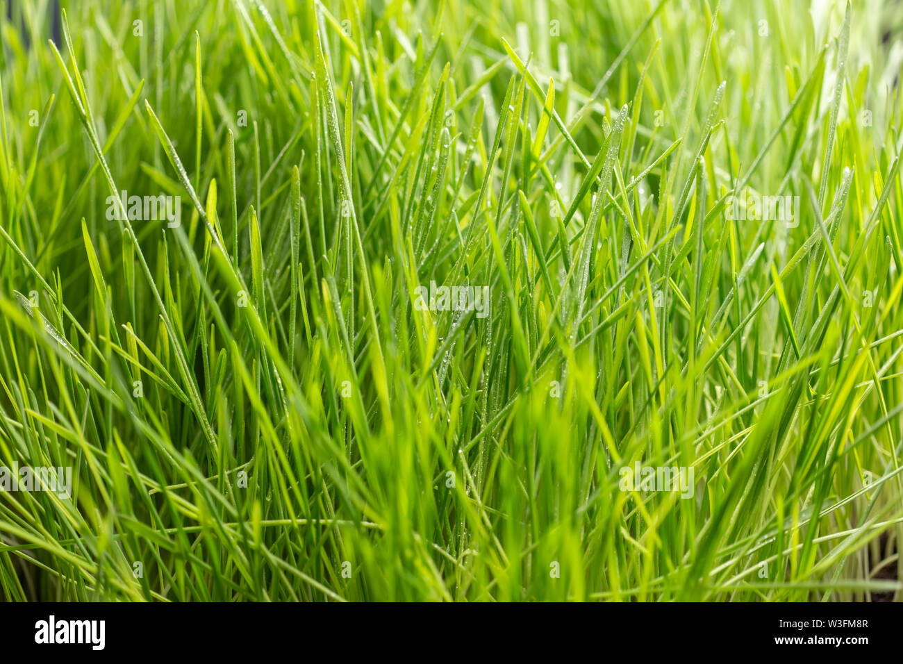 Fresh green grass with water drops. Nature Background. - Stock Image
