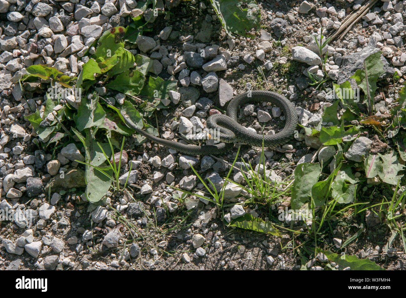 A non-poisonous snake like a spring prepared to jump from the rocks on the ground. Plantain grass is growing. Scattered rubble. - Stock Image