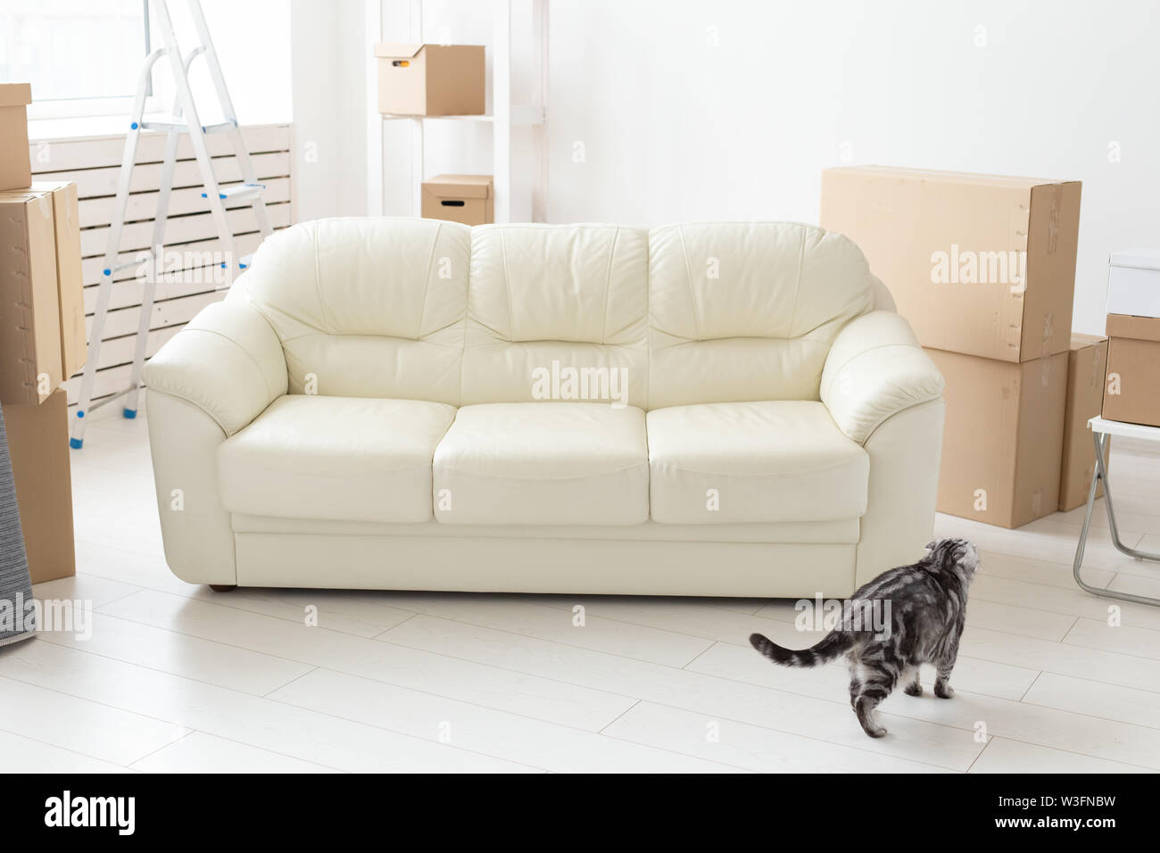 Beautiful gray scottish fold cat sits near a new empty sofa while moving to a new apartment. Concept of housewarming and good tradition with a cat - Stock Image