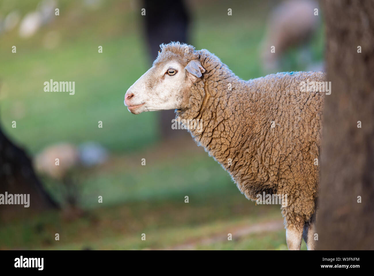 sheep behind a tree with copy space for text - Stock Image