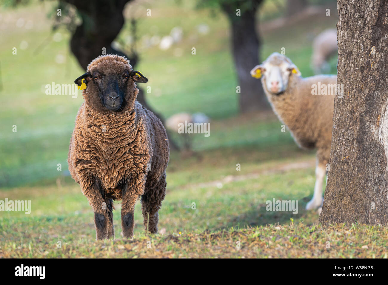 brown sheep ewe looking directly at camera in the Spring - Stock Image