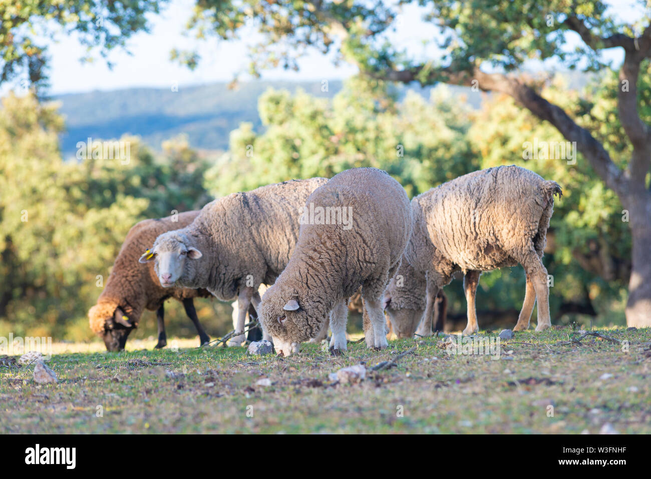 sheeps grazing in the Field - Stock Image