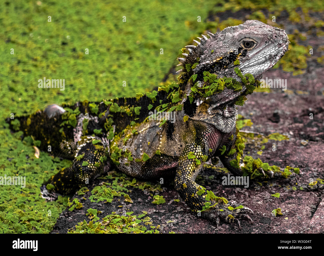 Eastern Water Dragon emerging from a pool covered in water weed - Stock Image