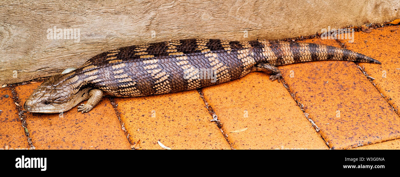 An Australian Blue-Tongue Lizard showing details of it's skin pattern and the smallness of it's legs - Stock Image