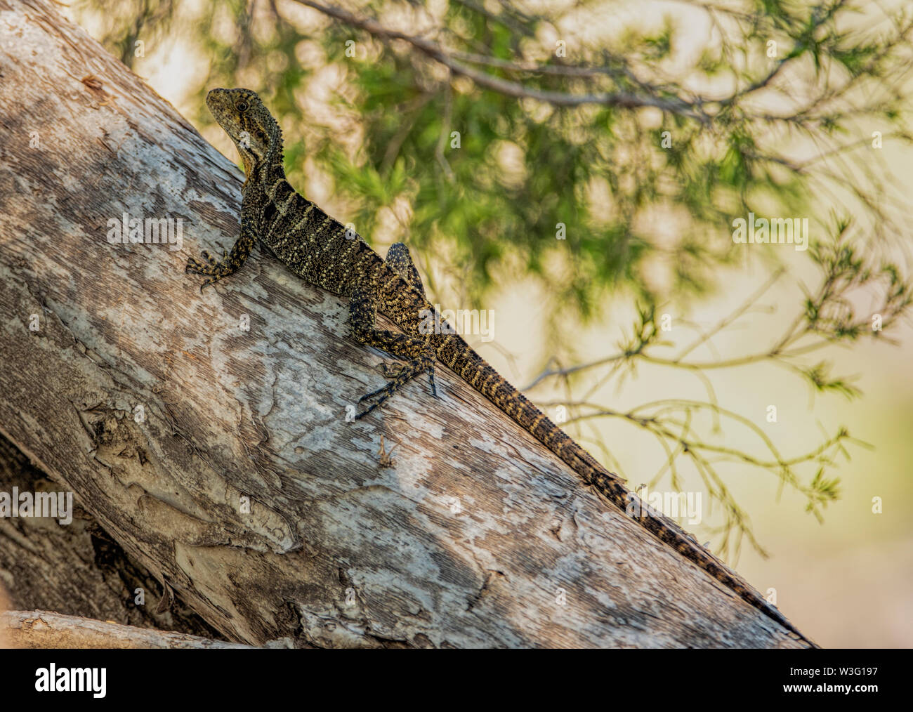 Young Eastern Water Dragon resting on a log on the banks of the Balonne River in Queensland, Australia - Stock Image