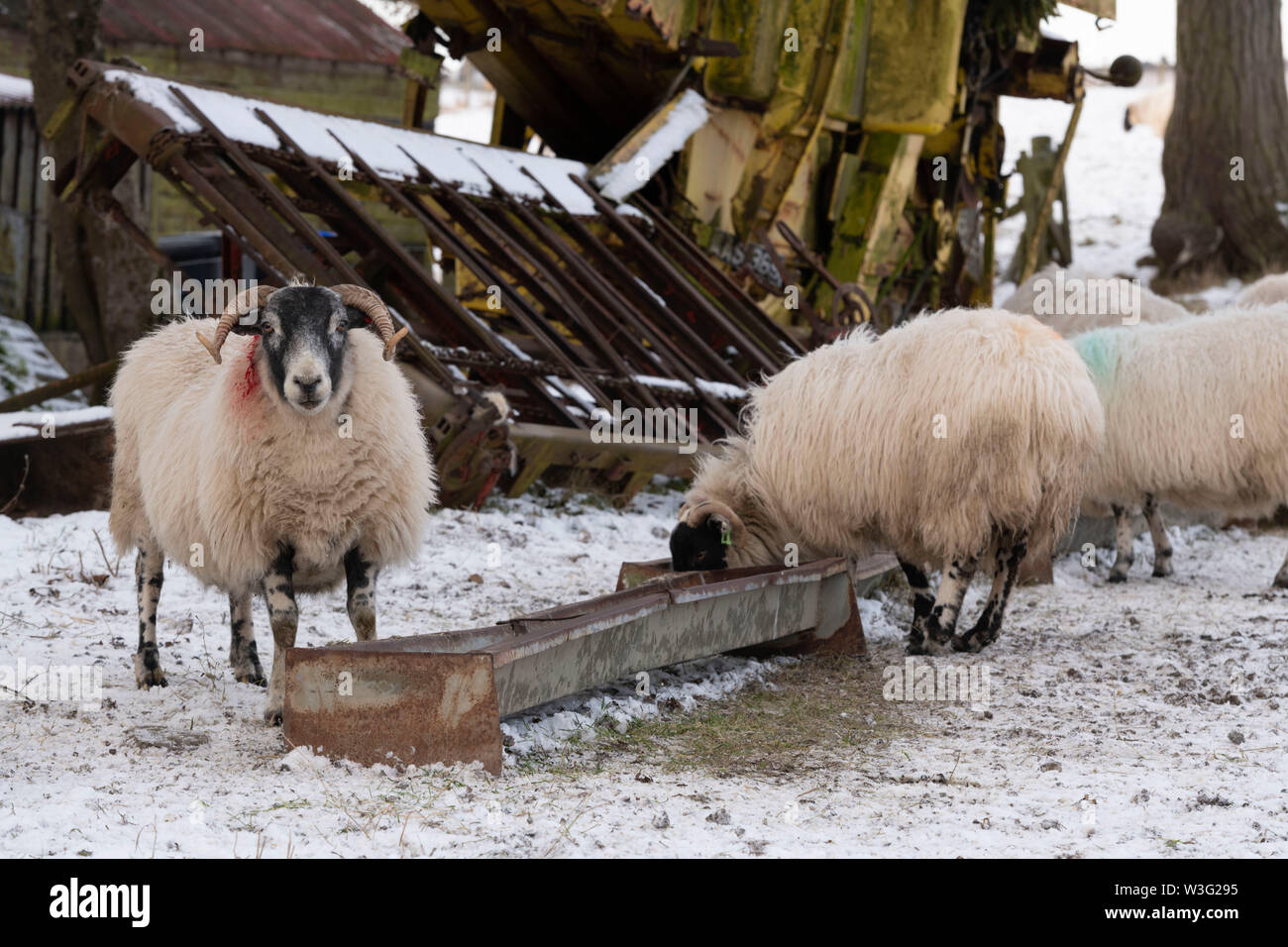 Scottish Blackface Sheep Feeding at a Trough on a Farm in Aberdeenshire in Winter - Stock Image