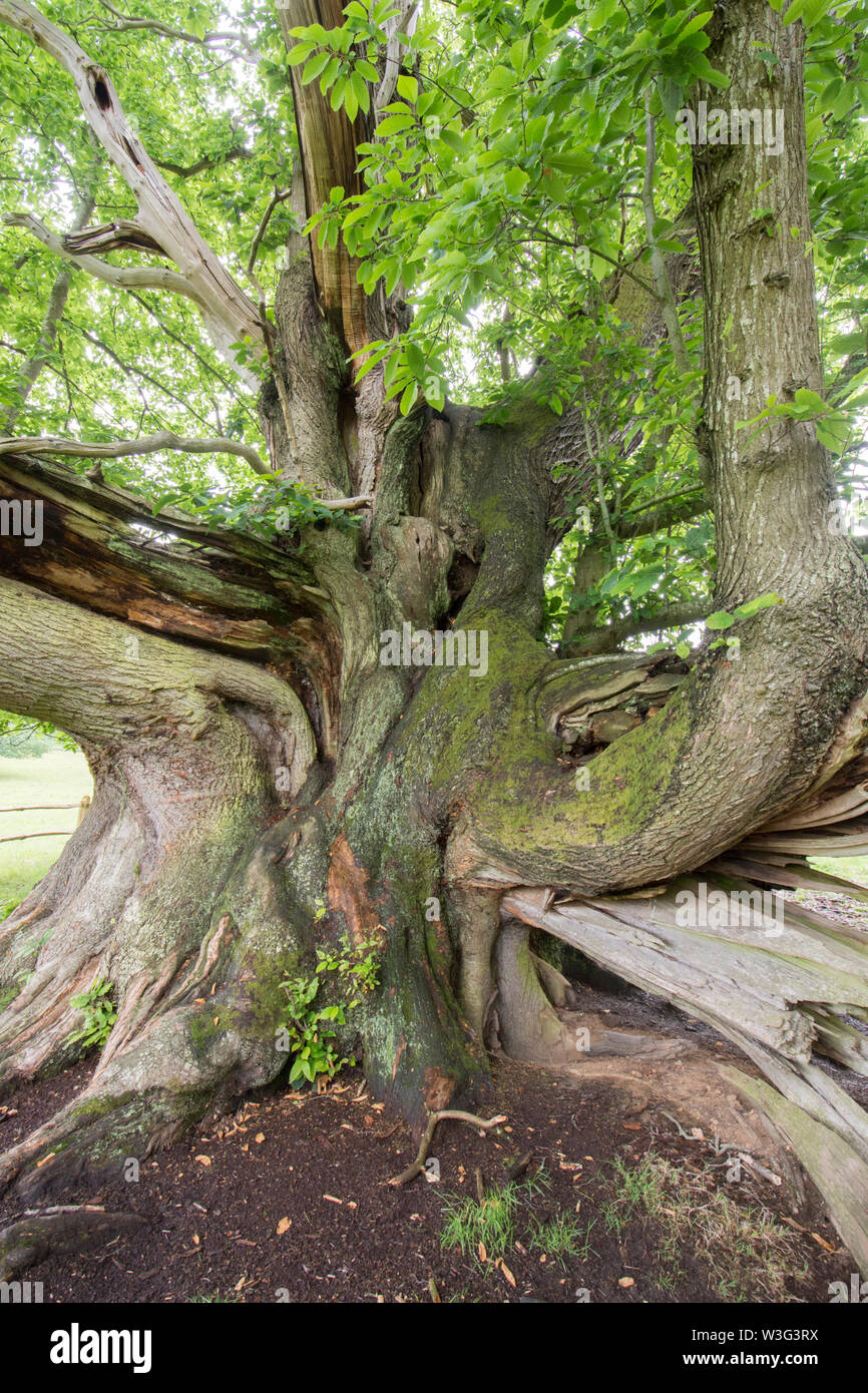 Cowdray Colossus, Sweet Chestnut tree, Castanea sativa, Sussex, June Stock Photo